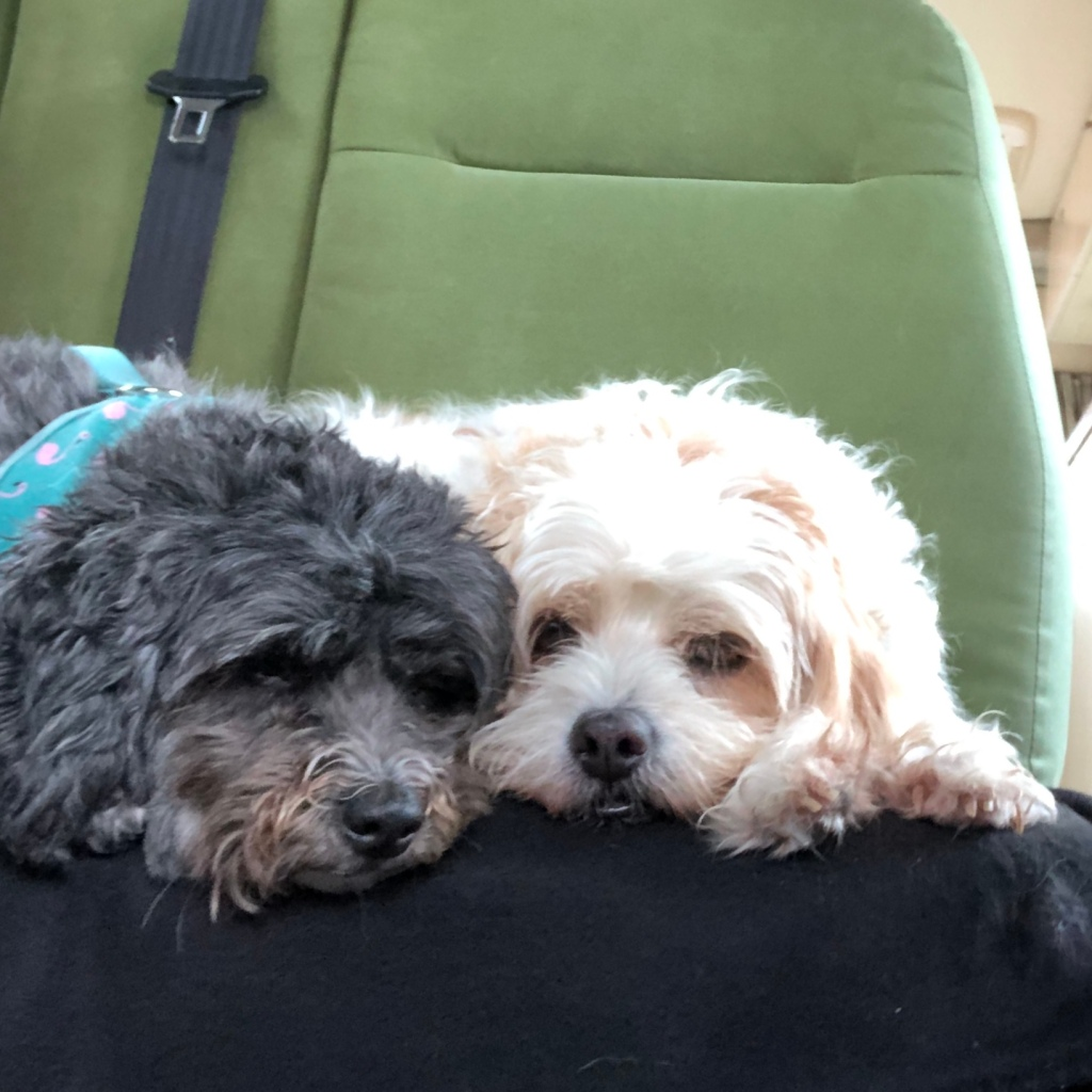 Jess & Pip the Kiwi Blog Bus dogs happy to be travelling again